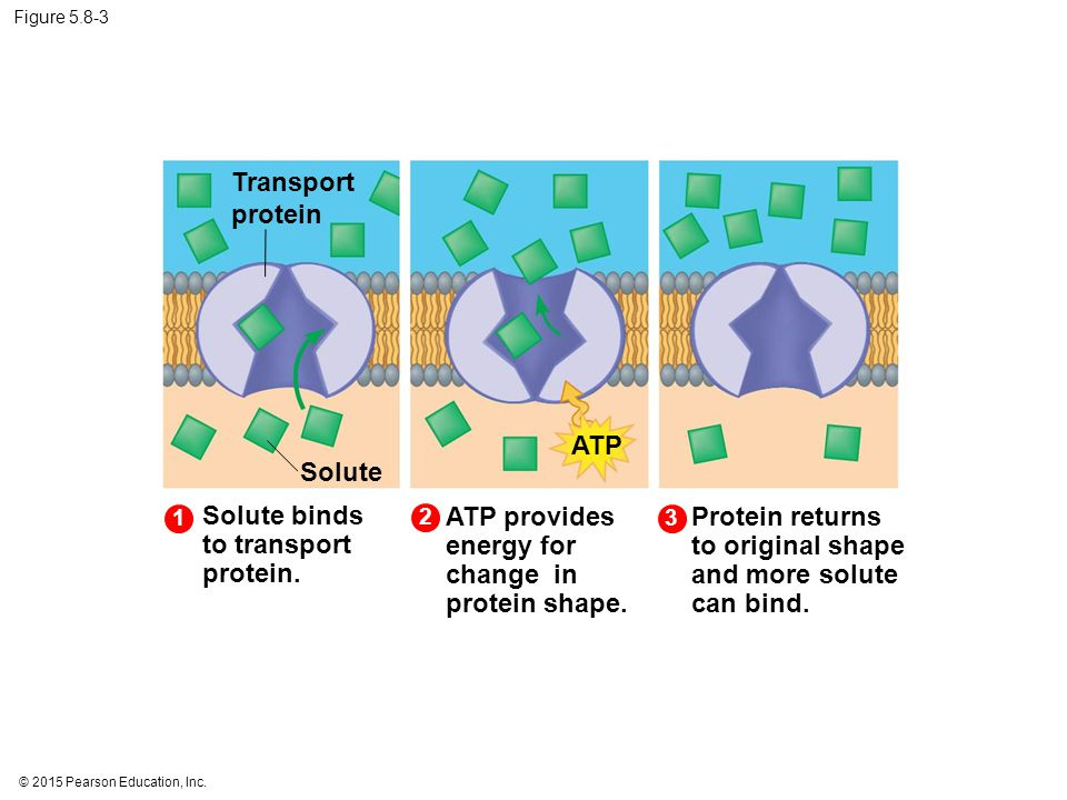 Solute binds to transport protein.