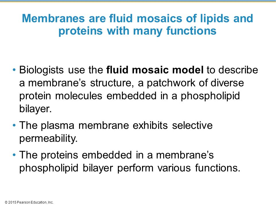 Membranes are fluid mosaics of lipids and proteins with many functions