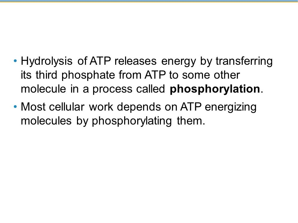 Hydrolysis of ATP releases energy by transferring its third phosphate from ATP to some other molecule in a process called phosphorylation.