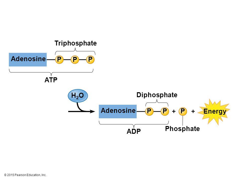 Triphosphate Adenosine P P P ATP H2O Diphosphate Adenosine P P P