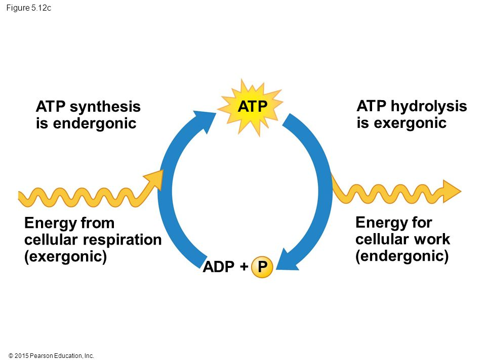 ATP synthesis is endergonic ATP ATP hydrolysis is exergonic