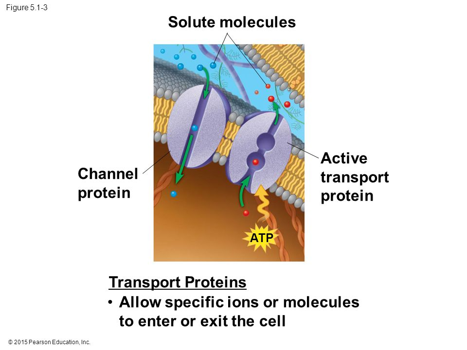 Active transport protein Channel protein