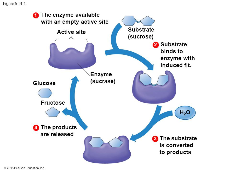 The enzyme available with an empty active site