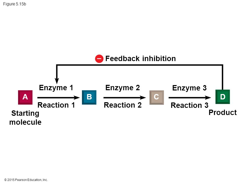 – Feedback inhibition Enzyme 1 Enzyme 2 Enzyme 3 A B C D Reaction 1