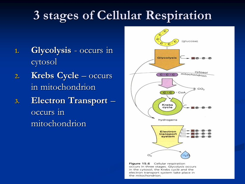 3 stages of Cellular Respiration