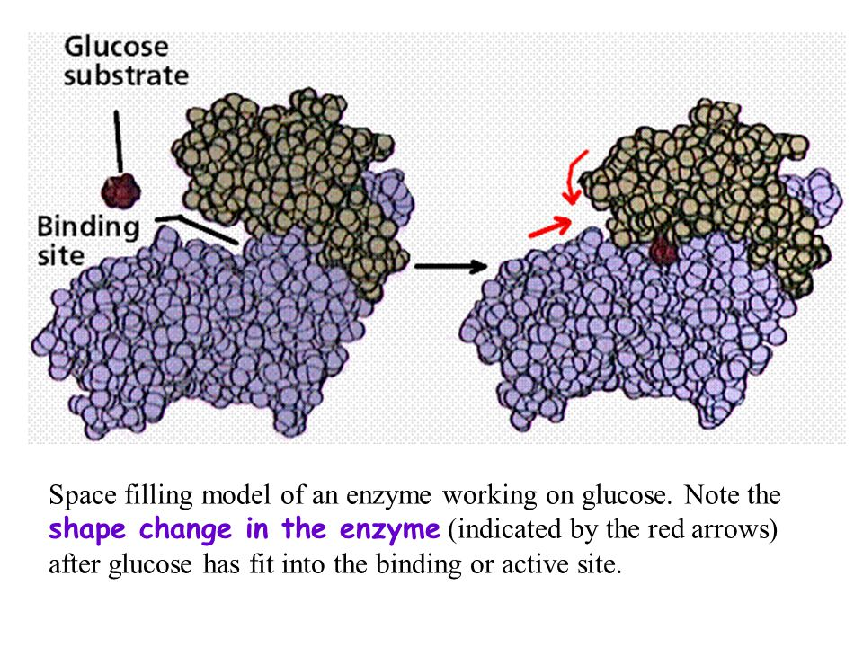 Space filling model of an enzyme working on glucose