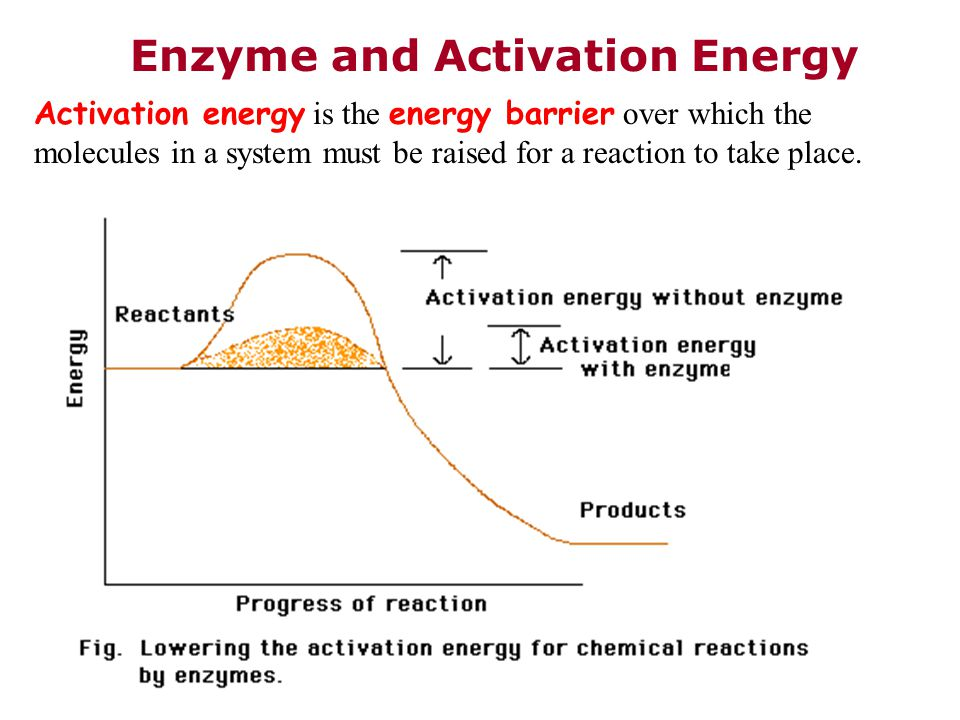 Enzyme and Activation Energy