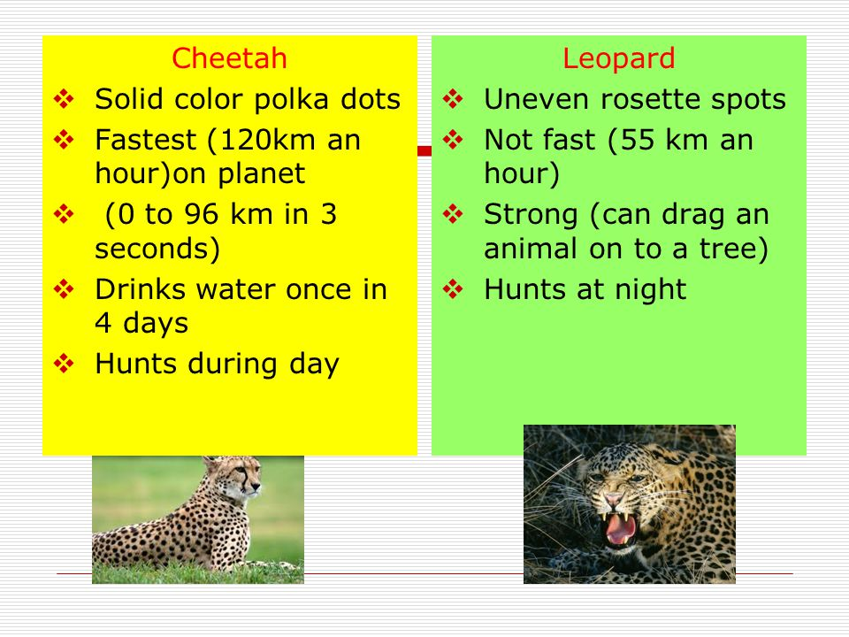 Cheetah Solid color polka dots. Fastest (120km an hour)on planet. (0 to 96 km in 3 seconds) Drinks water once in 4 days.