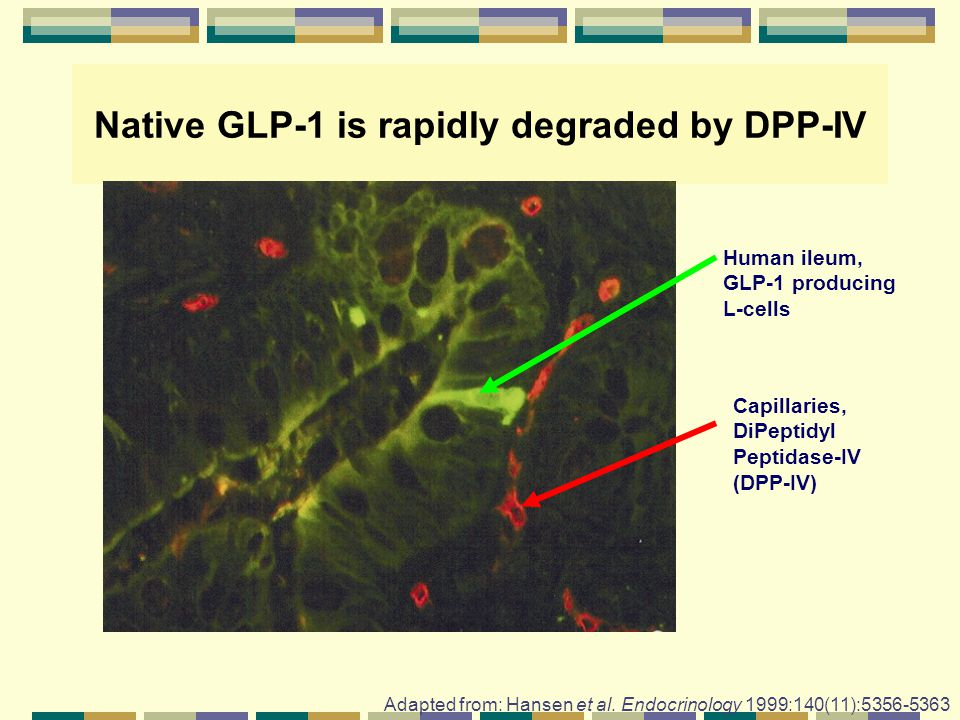 Native GLP-1 is rapidly degraded by DPP-IV