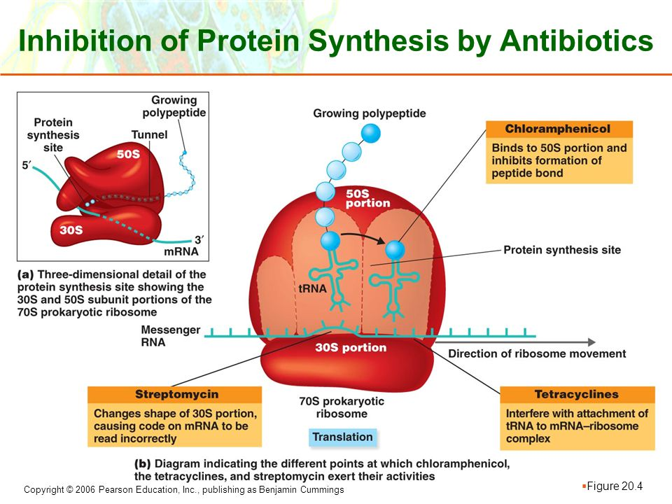 Inhibition of Protein Synthesis by Antibiotics