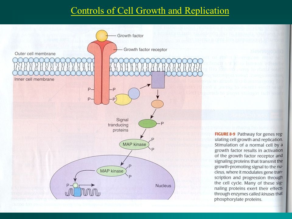 Controls of Cell Growth and Replication