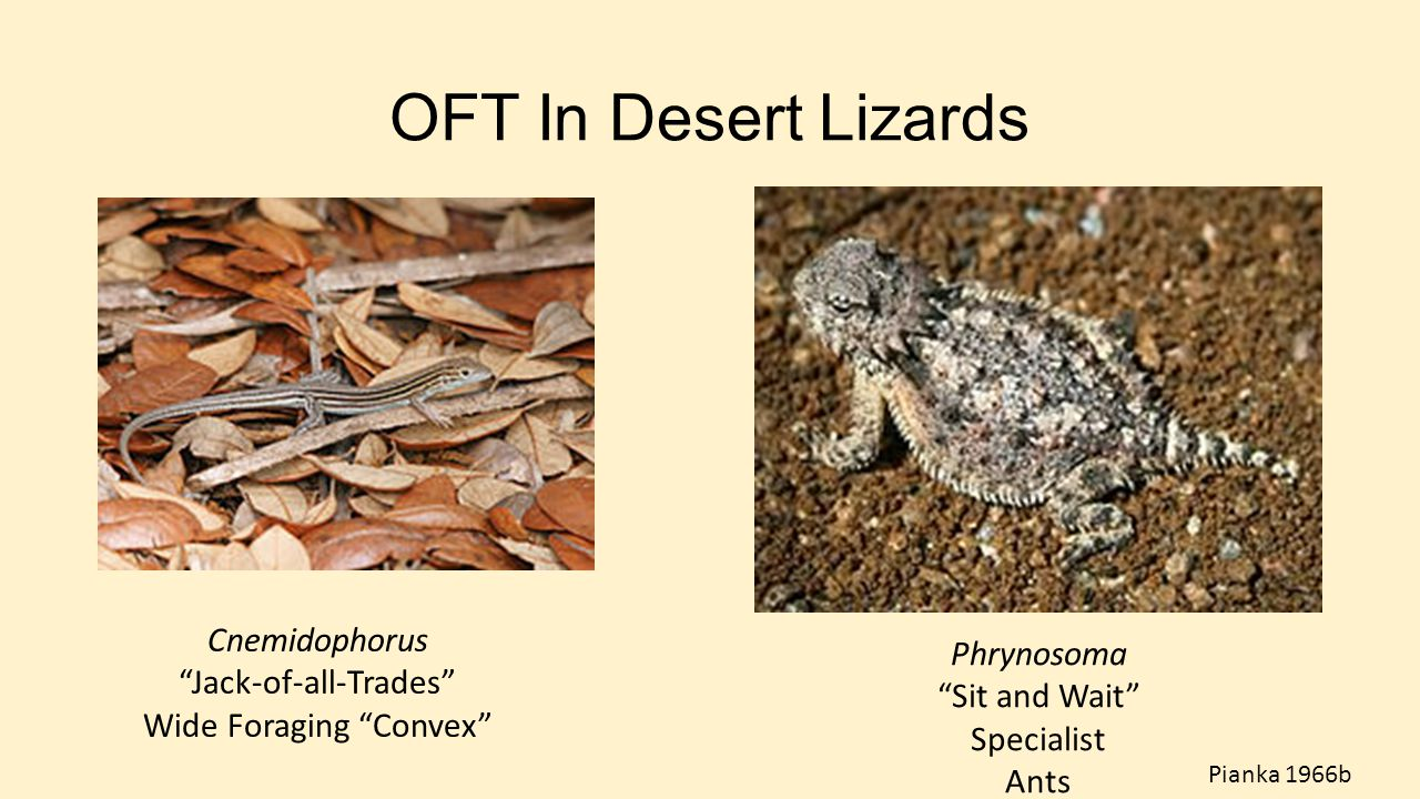 OFT In Desert Lizards Cnemidophorus Phrynosoma Jack-of-all-Trades