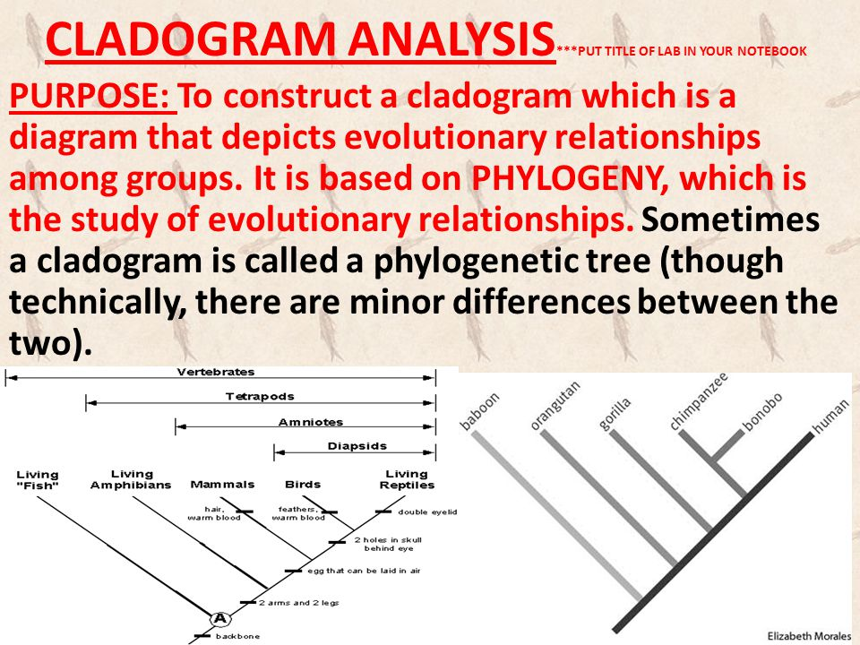 CLADOGRAM ANALYSIS***PUT TITLE OF LAB IN YOUR NOTEBOOK