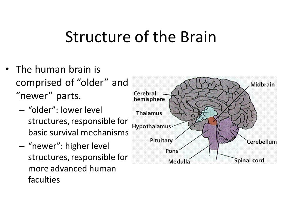 Structure of the Brain The human brain is comprised of older and newer parts.