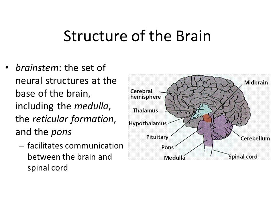 Structure of the Brain brainstem: the set of neural structures at the base of the brain, including the medulla, the reticular formation, and the pons.