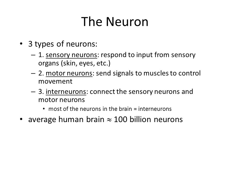 The Neuron 3 types of neurons: