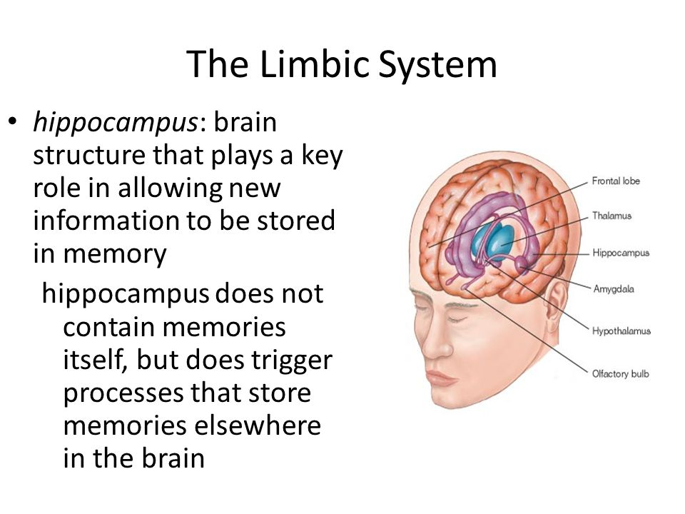 The Limbic System hippocampus: brain structure that plays a key role in allowing new information to be stored in memory.
