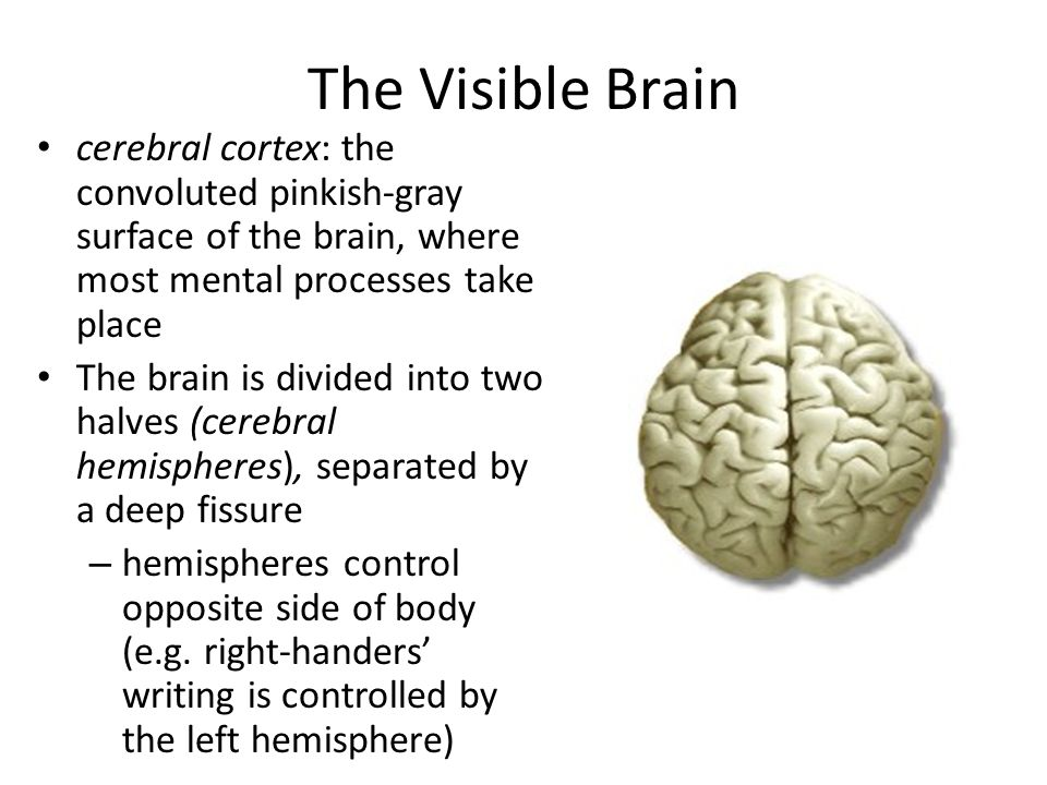 The Visible Brain cerebral cortex: the convoluted pinkish-gray surface of the brain, where most mental processes take place.