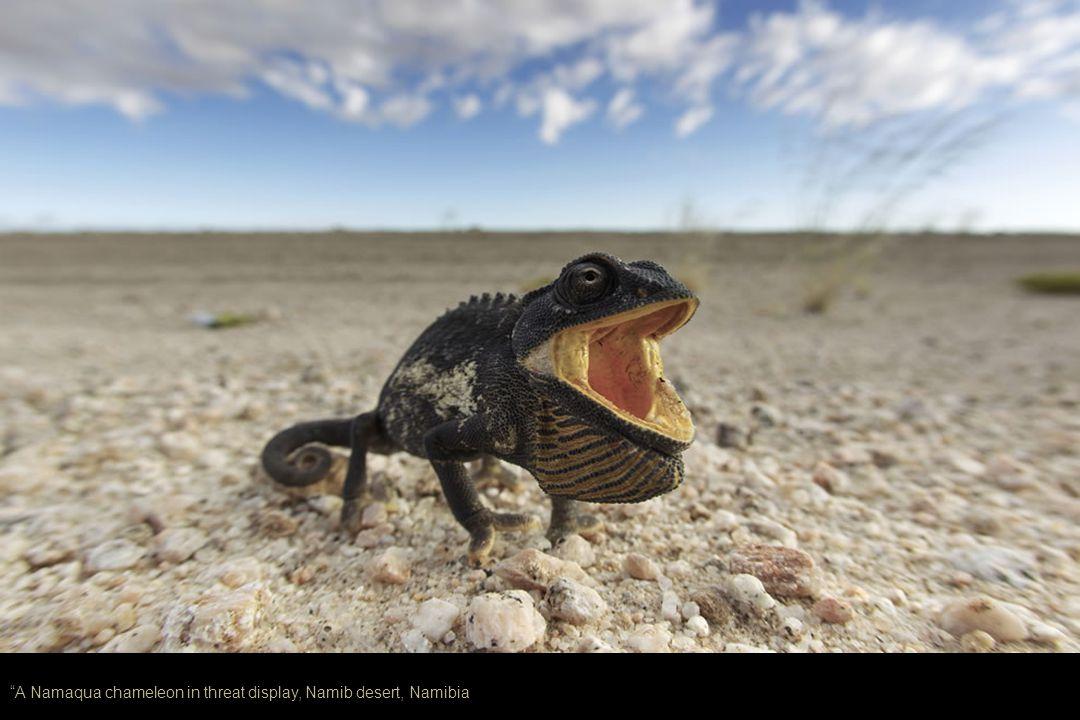 A Namaqua chameleon in threat display, Namib desert, Namibia