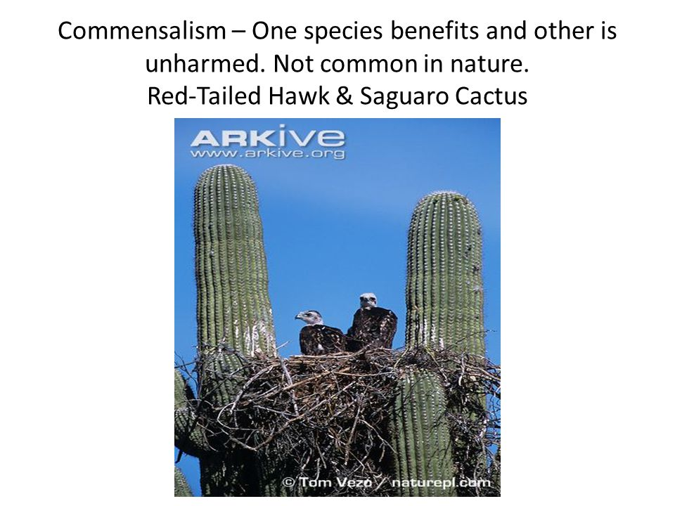 Commensalism – One species benefits and other is unharmed