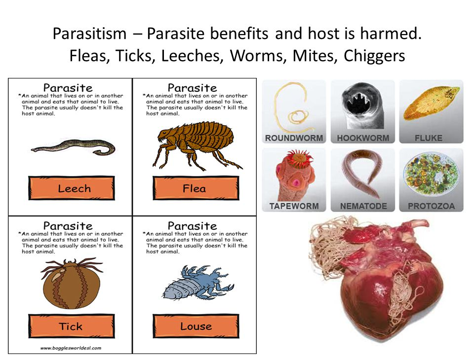 Parasitism – Parasite benefits and host is harmed