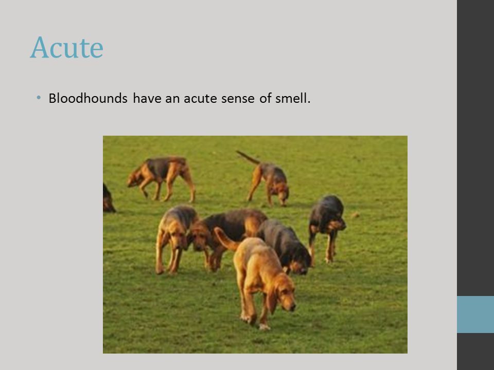 Acute Bloodhounds have an acute sense of smell.