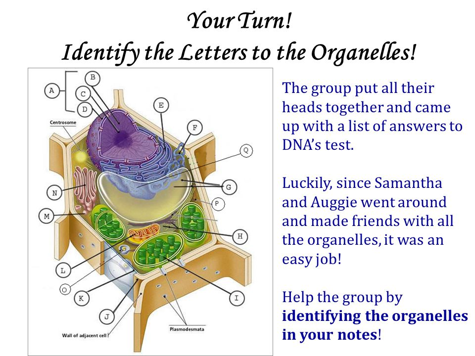 Your Turn! Identify the Letters to the Organelles!