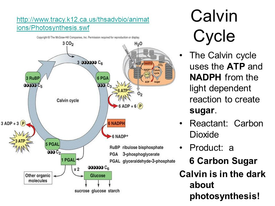 Calvin Cycle http://www.tracy.k12.ca.us/thsadvbio/animations/Photosynthesis.swf.