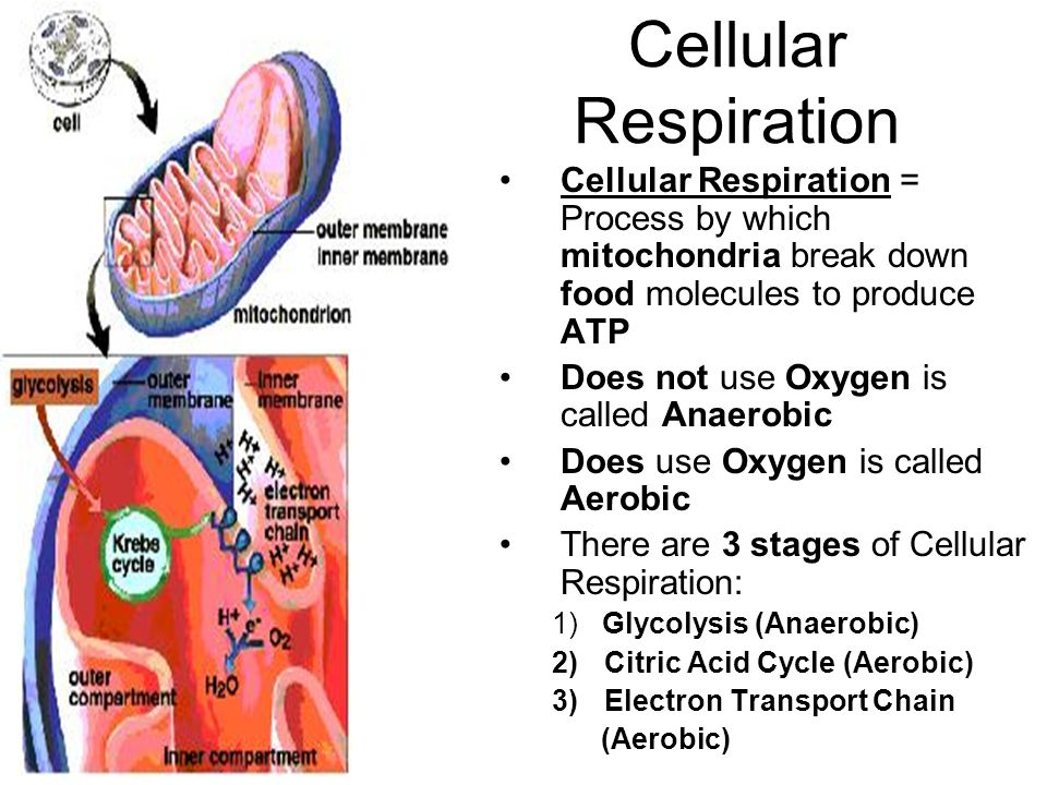 Cellular Respiration Cellular Respiration = Process by which mitochondria break down food molecules to produce ATP.
