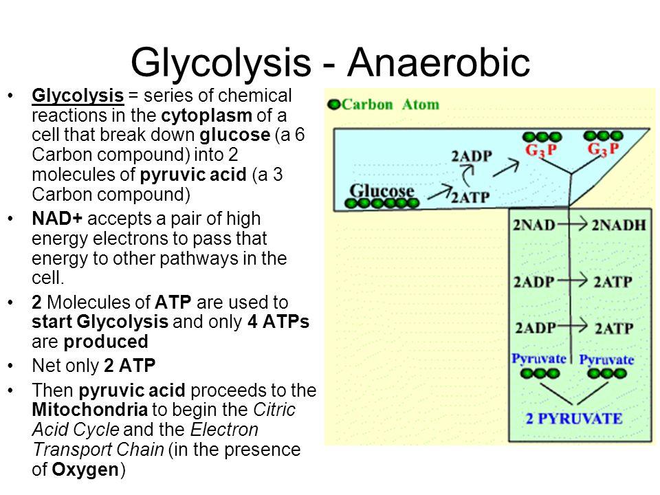Glycolysis - Anaerobic