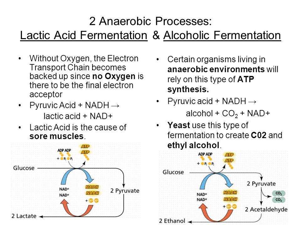 2 Anaerobic Processes: Lactic Acid Fermentation & Alcoholic Fermentation