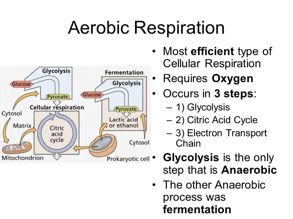 Aerobic Respiration Most efficient type of Cellular Respiration