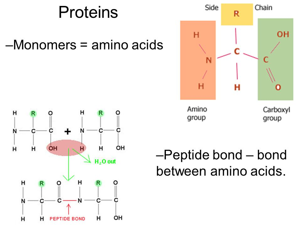 Proteins Monomers = amino acids