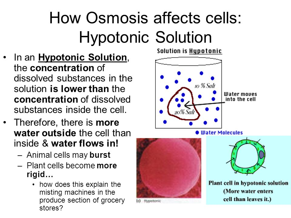How Osmosis affects cells: Hypotonic Solution