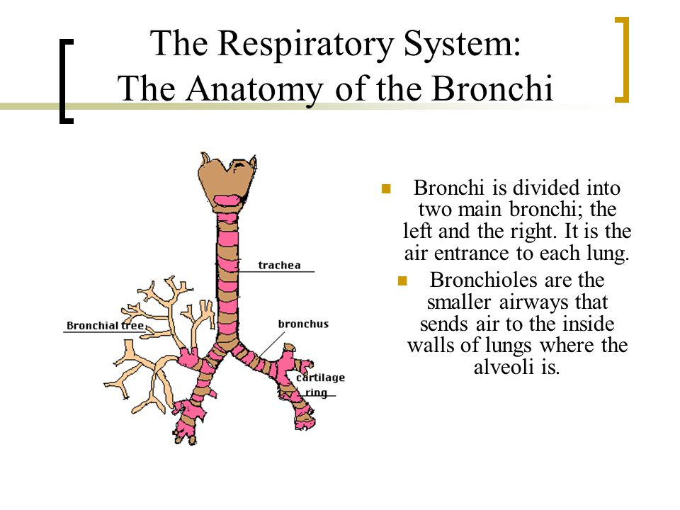 The Respiratory System: The Anatomy of the Bronchi
