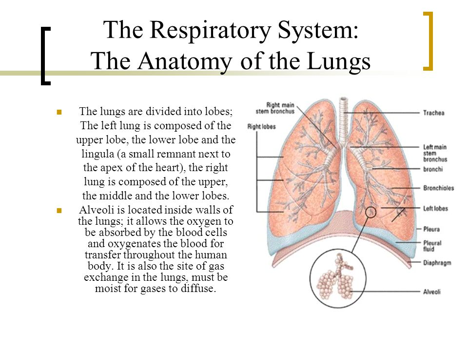 The Respiratory System: The Anatomy of the Lungs