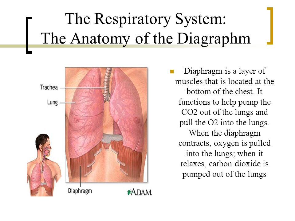 Circulatory & Respiratory System - ppt download