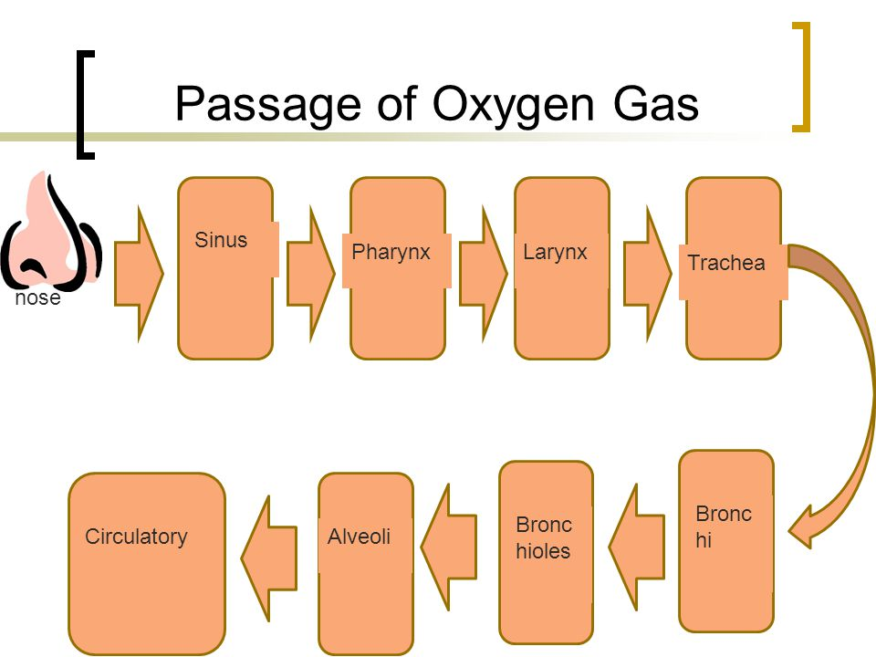 Passage of Oxygen Gas nose Sinus Pharynx Larynx Trachea Bronchi
