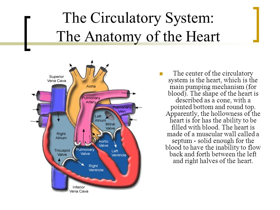 The Circulatory System: The Anatomy of the Heart
