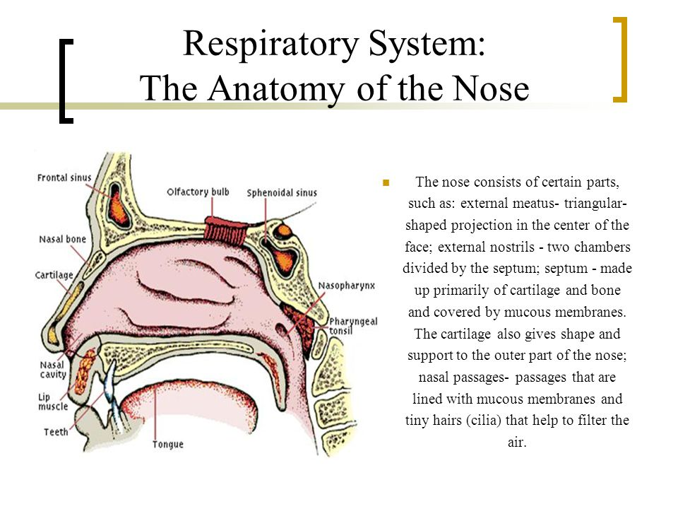 Respiratory System: The Anatomy of the Nose