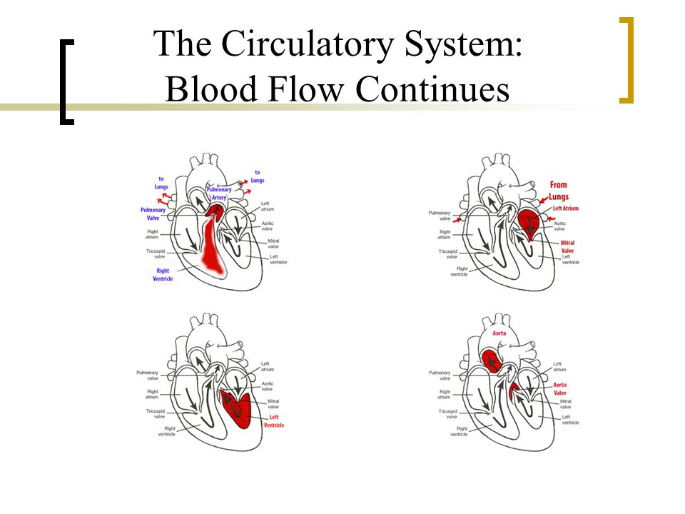 The Circulatory System: Blood Flow Continues