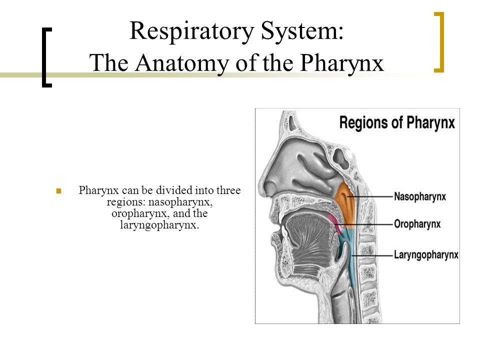 Respiratory System: The Anatomy of the Pharynx