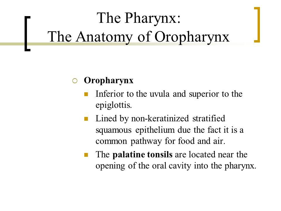 The Pharynx: The Anatomy of Oropharynx