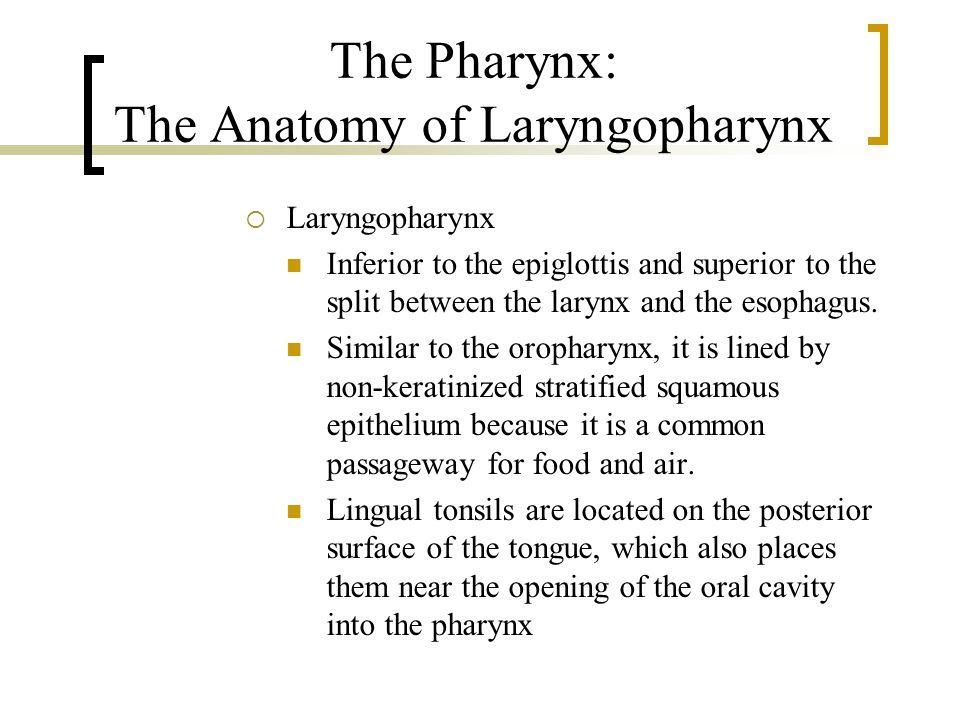 The Pharynx: The Anatomy of Laryngopharynx