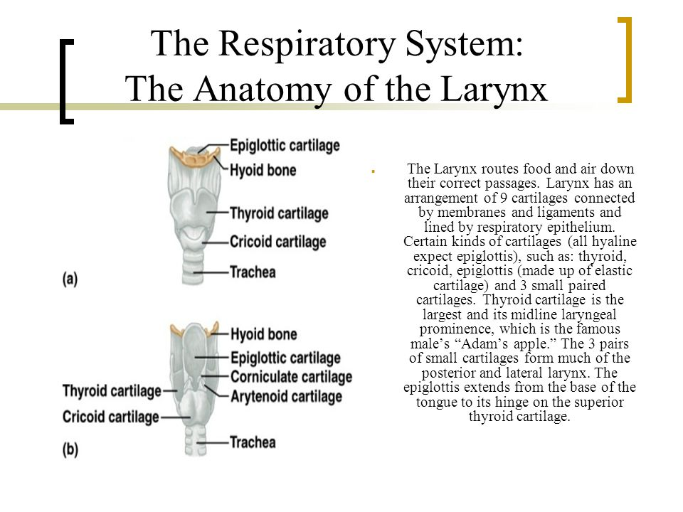 The Respiratory System: The Anatomy of the Larynx