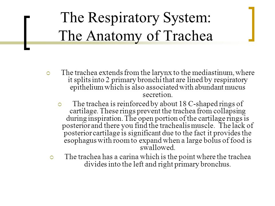 The Respiratory System: The Anatomy of Trachea