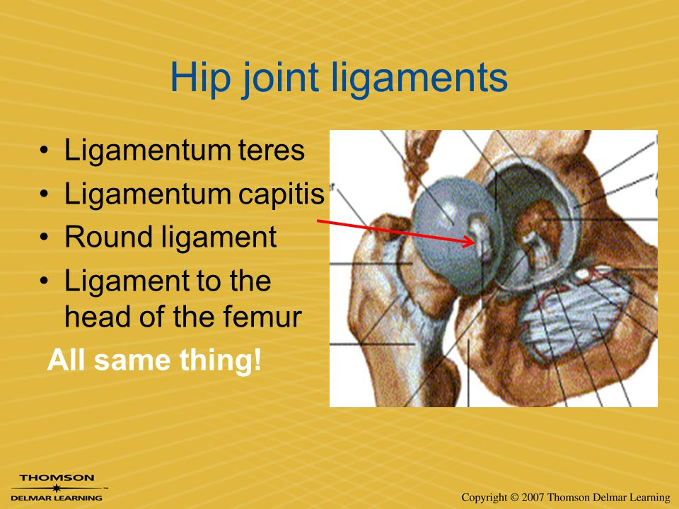 Hip joint ligaments Ligamentum teres Ligamentum capitis Round ligament