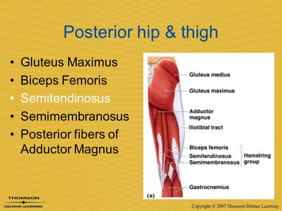 Posterior hip & thigh Gluteus Maximus Biceps Femoris Semitendinosus