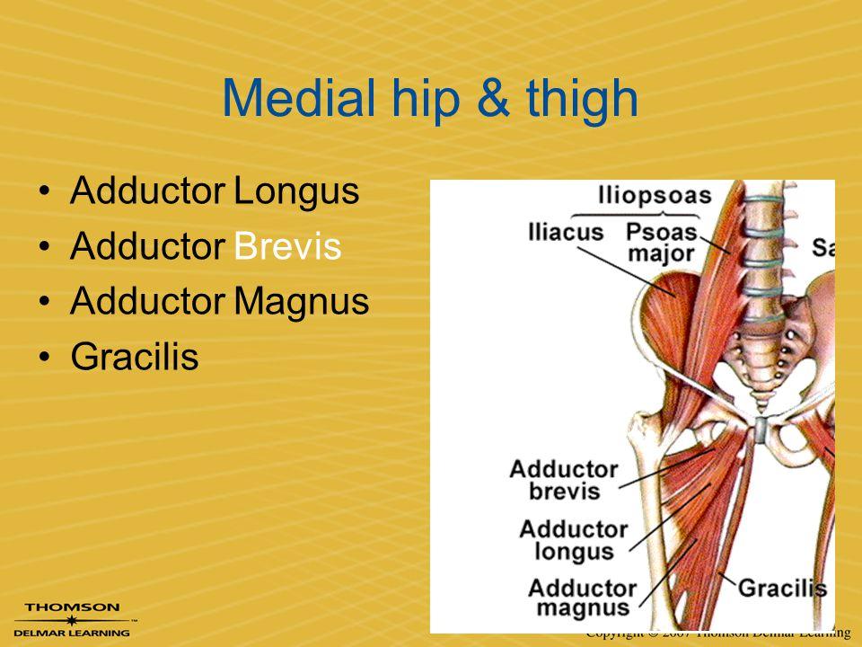 Medial hip & thigh Adductor Longus Adductor Brevis Adductor Magnus