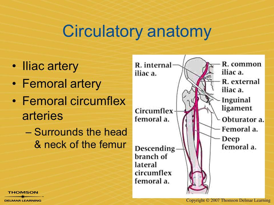 Circulatory anatomy Iliac artery Femoral artery